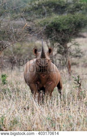 Black Rhinoceros, Diceros Bicornis, With Raised Head And Huge Horn With Grassy Foreground In The Mid