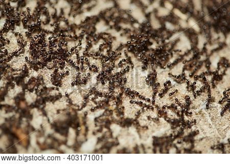 Many Flocks Of Insects Return To The Nest. Ants Are Running. Ants Looking For Food. Abstract Backgro