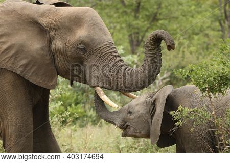 The African Bush Elephant (loxodonta Africana) Typical Greeting Elephant,  When Younger Elephant's T