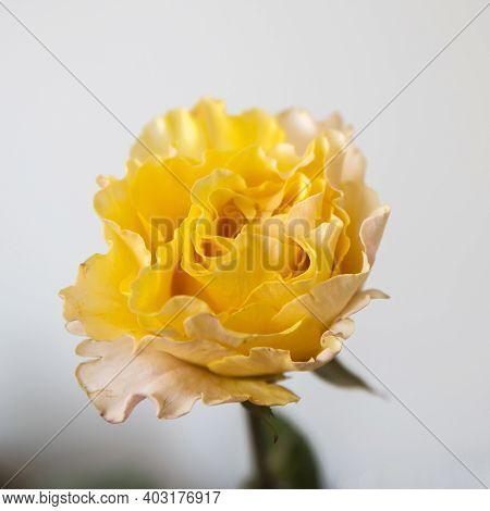 Orange Rose Of Candlelight Close Up Against Pale Grey Background. Square Frame