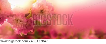 Natural Spring Floral Colorful Background Banner Format. Focus Of A Beautiful Branch With Flowers On