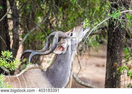 Adult male kudu grazing from green shoots in Kruger National Park, South Africa,