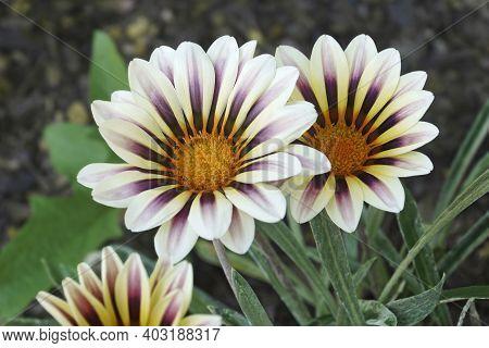 Treasure Flower (gazania Rigens). Another Scientific Name Is Gazania Splendens