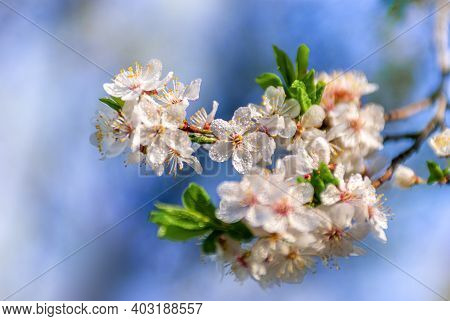 Beautiful Spring Floral Background With Branches Of Blossoming Cherry, Soft Focus. Branch With White