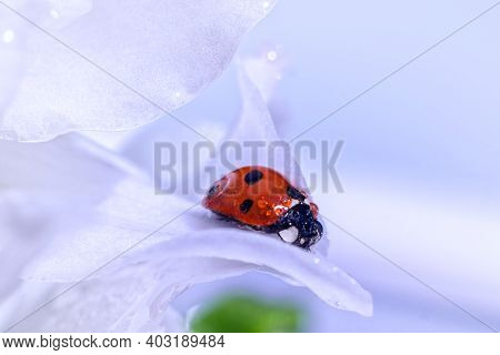 Ladybug On White Flower Background In Rays Of Light With A Soft Focus On Nature Outdoors Macro.
