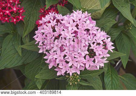 Egyptian Starcluster (pentas Lanceolata). Called Egyptian Star Flower Also