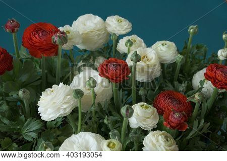 Ranunculus Bouquet Close-up Background.spring Flowers. Buttercups Flower. White And Red Ranunculus F
