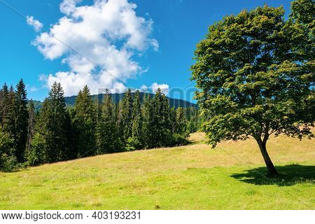 Fir Forest On The Green Grassy Meadow. Beautiful Mountain Landscape In Summertime. Good Sunny Weathe