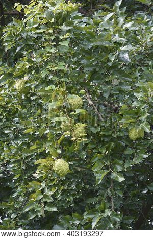 Osage orange tree with fruits (Maclura pomifera). Called Hedge apple, Horse apple, Bois d\\\'arc, Bodark, Monkey ball, Bow-wood, Yellow-wood and Mock orange also