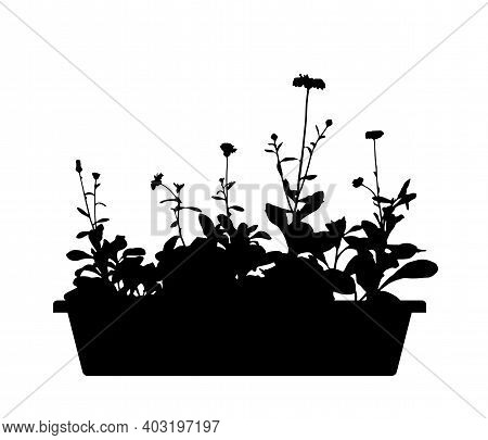 Vector Pot Marigold (calendula Officinalis) In Planter Silhouette Isolated On White Background