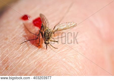 A Mosquito With Drops Of Blood And A Full Belly.mosquito Drunk With Blood On His Hand.
