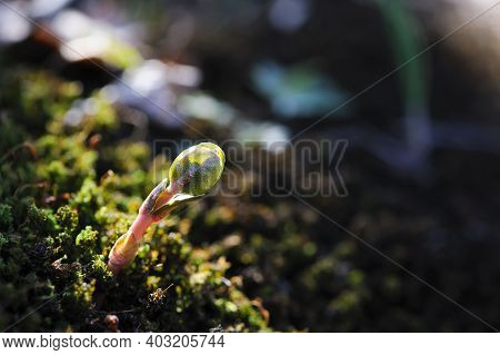 A Small Plant Germinates In Spring. Close Up Of Young Seeds Germination And Growing Plants, Wet Gree