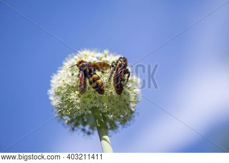 Megascolia Maculata. The Mammoth Wasp. Scolia Giant Wasp On A Onion Flower.