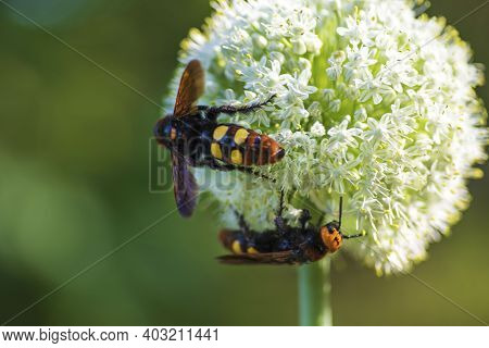 Scolia Maculata Is A Species Of Large Wasps From The Family Of Scaly .megascolia Maculata. The Mammo