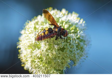 Scolia Lat. Megascolia Maculata Lat. Scolia Maculata Is A Species Of Large Wasps From The Family Of