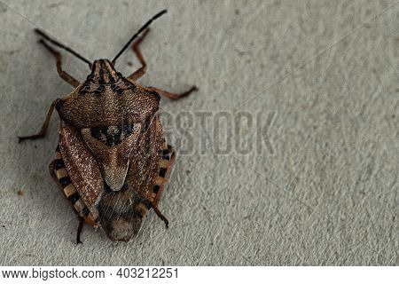 Insects Are Small.brown Marmorated Stink Bug Halyomorpha Halys. On Plain Background With Copyspace,o
