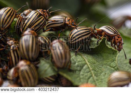 Many Colorado Potato Beetle.potato Bugs On Foliage Of Potato In Nature, Natural Background, Close Vi