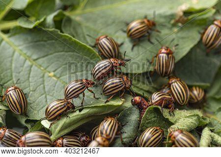 Potato Bugs On Foliage Of Potato In Nature, Natural Background, Close View.colorado Beetle Eats A Po