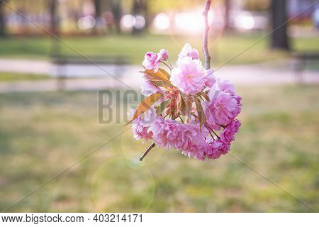 Cherry Blossom In Full Bloom. Cherry Flowers In Small Clusters On A Cherry Tree Branch. Sakura, Cher