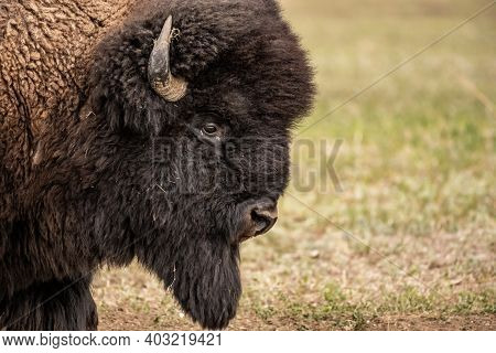 Close Up Profile Of Male Bison Head In Badlands National Park