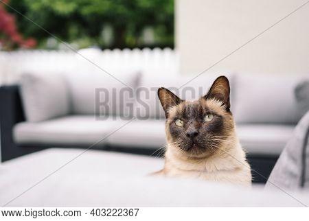 Cute Siamese Cat Posing On Outdoor Sofa.