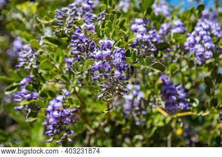 A Purple Wildflowers In Boyce Thompson Arboretum Sp, Arizona