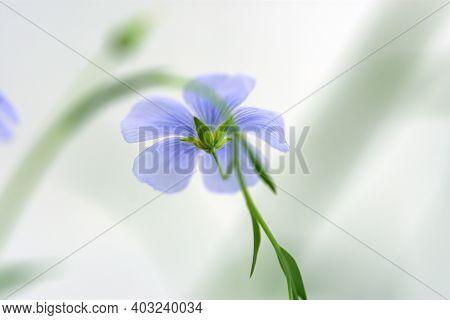 Blue Flax Flower Close-up. Delicate Light Purple Field Flower In Selective Focus. Flower Summer Macr
