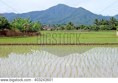 Paddy Fields After The Transplanting Rice Plants Process, Northern Region Of Thailand