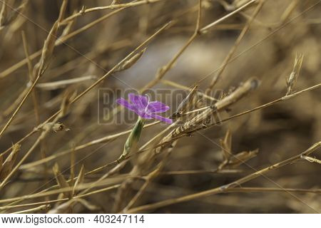 Hairy Pink Petrorhagia Dubia Flower Closeup On Blurred Background Of Dry Plants