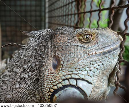 Portrait Of An Iguana In The Spotlight. Close-up Of An Iguana In A Metal Cage. One Of The Most Popul