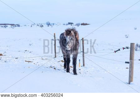 Beautiful Icelandic Horse On The Background Of Winter Nature In Iceland. Icelandic Horse On The Back