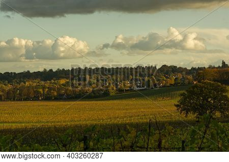 Vineyard At Dorking In Surrey Hills, England. Autumn (fall) Colours