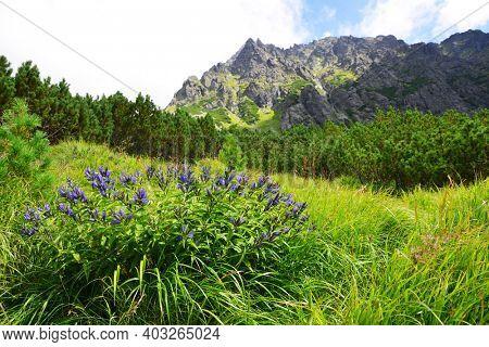 Flowers willow gentian (Gentiana asclepiadea) in Mengusovska Valley, Vysoke Tatry (High Tatras), Slovakia. Summer mountain landscape in sunny day.