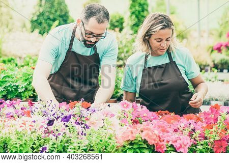 Two Serious Professional Gardeners Caring Petunia Flowers And Standing Outdoors. Concentrated Floris