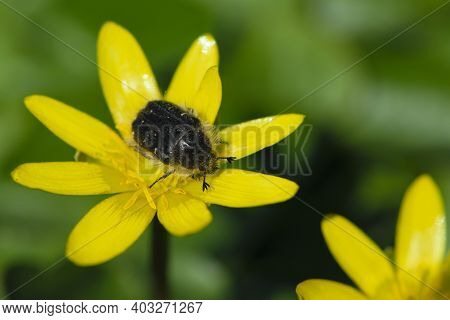 Beetle Tropinota Hirta On Yellow Meadow Flowers Ficaria Verna. Beetle On A Spring Flower, On A Blurr