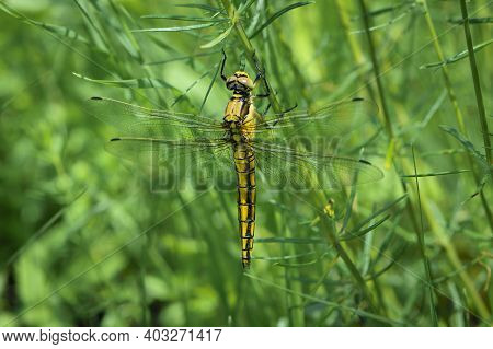 Yellow Dragonfly Sympetrum Danae Sulzer, Sitting On The Grass. Green Meadow Spring Or Summer Grass A