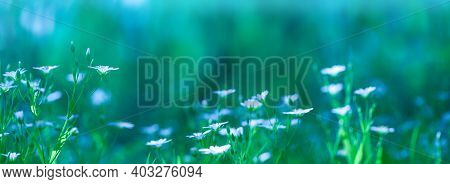 Natural Background In Green And Blue Tones. Blurred Floral Background. White Flowers In Spring In Na