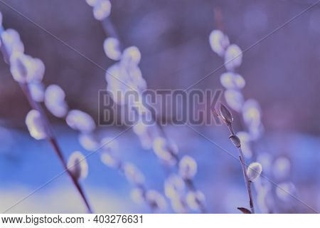 Abstract Natural Violet Blue Background. Blurred Willow Flowers Background. Tender Natural Backgroun