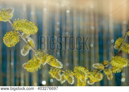 Delicate Floral Background. Willow Kittens. Willow Branch With Soft Fluffy Buds. Natural Spring Back