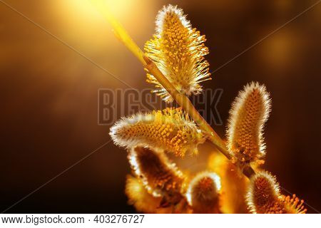 Vintage Floral Background With Free Space. Fluffy Willow Buds In The Sun. Willow Branch With Soft Fl