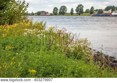 Exuberant Flowering Wild Plants On The Banks Of A Dutch River. In The Background A Cargo Ship Is Pas