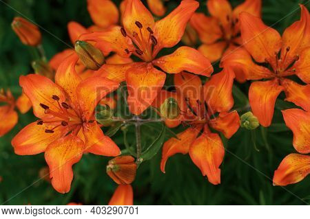 Fiery Orange Garden Lily. Beautiful Bright Flowers. Lily Bush On Top. Orange Flower In Green Foliage