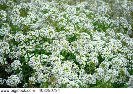Alyssum Flowers. Lobularia Maritima Flowers, Close Up. Floral Pattern In Meadow. Spring And Summer W
