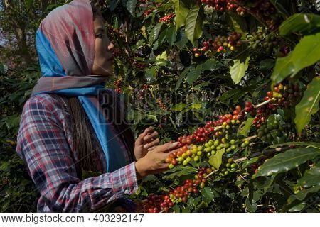 Raw Or Ripe Arabica And Robusta And Organic Coffee Berries Beans With Agriculturist Hands. Farmer Cr