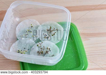Basil Seed Germination On Wet Cotton Pad. Seedling Preparation Of Basil. Spring. Harvest.
