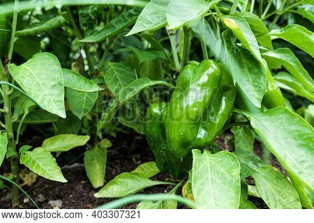 Bell Pepper Plant With Ripening Green Fruits.