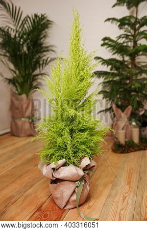 Beautiful Natural Home And Office Decorations. Floriculture. Green Indoor Houseplant In Pot. Plant G