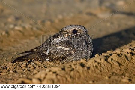 Risky European Nightjar (caprimulgus Europaeus) Sits And Rests On Sandy Road At Spring Night