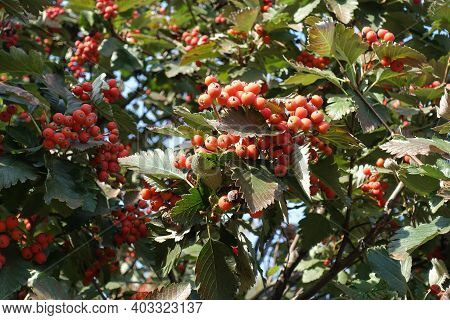 Berries In The Leafage Of Sorbus Aria In September