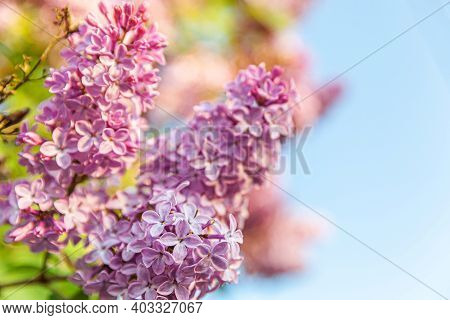 Beautiful Smell Violet Purple Lilac Blossom Flowers In Spring Time. Close Up Macro Twigs Of Lilac Se